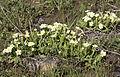 Primula - Çuhaçiçeği 01.jpg