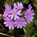 Primula jesoana var. jesoana (flower s3).JPG