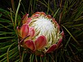 Protea montana rebeccaryen iNat 39755299a.jpg