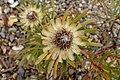 Protea scolymocephala kz5.jpg