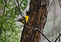 Prothonotary Warbler (34701471671).jpg