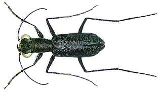 <i>Prothyma</i> Genus of beetles