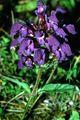 Prunella grandiflora1 eF.jpg