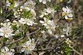Prunus fruticosa (Zwerg-Weichsel) IMG 8469.JPG