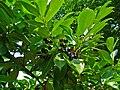 Prunus laurocerasus 004.JPG