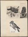 Psittacus accipitrinus - 1700-1880 - Print - Iconographia Zoologica - Special Collections University of Amsterdam - UBA01 IZ18600093.tif