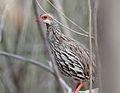 Pternistis afer subsp afer, Kunene River Lodge, Birding Weto, a.jpg