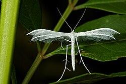 Pterophorus pentadactyla 01.jpg