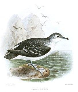 Little shearwater Species of bird