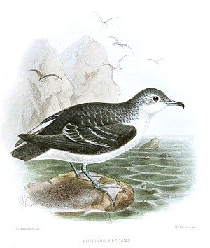 Kleiner Sturmtaucher (Puffinus assimilis), Illustration