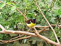 Purple-rumped Sunbird male.jpg
