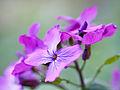 Purple flowers (13759332884).jpg