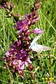 Purple loosestrife and guest (Heit.) (24535078812).jpg