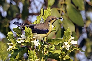 Purple sunbird (Cinnyris asiaticus asiaticus) male non-breeding.jpg