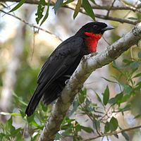 Pyroderus scutatus - Red-ruffed Fruitcrow (female).jpg