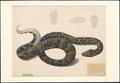Python bivittatus - 1826 - Print - Iconographia Zoologica - Special Collections University of Amsterdam - UBA01 IZAA100023.tif