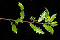 Quercus faginea 02 by-dpc.jpg