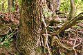Quercus pubescens bark.JPG