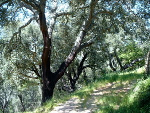 Forests of the Iberian Peninsula - Forest of cork oaks in the south of Portugal (Algarve)