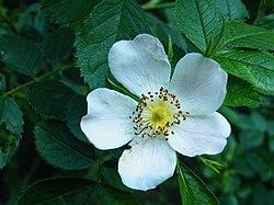 Róża eliptyczna (5).jpg