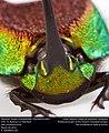 Rainbow Scarab (Scarabaeidae, Phanaeus vindex) (26143347705).jpg