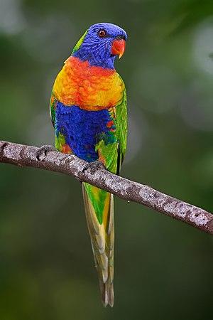 Rainbow lorikeet - Trichoglossus moluccanus moluccanus