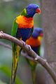 Rainbow lorikeets (8065738622).jpg
