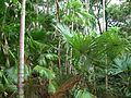 Rainforest gully in the George Brown Darwin Botanic Gardens (palms).jpg