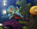 Rainow fish betta.jpg