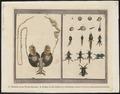 Rana esculenta - teeldelen en levensfasen - 1700-1880 - Print - Iconographia Zoologica - Special Collections University of Amsterdam - UBA01 IZ11500045.tif