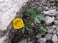 Ranunculus oreophilus a1