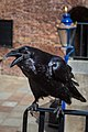 Raven at the Tower of London, City of London.jpg