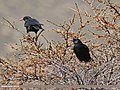 Red-billed Chough (Pyrrhocorax pyrrhocorax) (27114109106).jpg