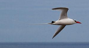 Tropicbird - Red-billed tropicbird, Genovesa Island, Galapagos