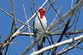 Red-crested Cardinal - Flickr - GregTheBusker (1).jpg