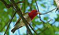 Red-headed Weaver (Anaplectes melanotis) (6002563581).jpg