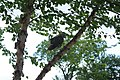 Red-tailed Hawk in tree (9515048029).jpg