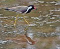 Red-wattled Lapwing (Vanellus indicus)- Reflection at Sultanpur Im Picture 1141.jpg