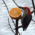 Red Bellied Woodpecker Eating an Orange (5776778746).jpg