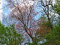 Red Maple (33972815562).jpg
