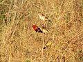 Red Munia.jpg
