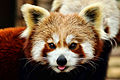 Red Panda - Shepreth Wildlife Park (25182080641).jpg