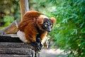 Red Ruffed Lemur (50350587077).jpg