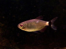 Red eye tetra.jpg