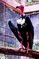 Red head vulture2.jpg