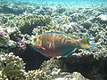 Red sea-reef 3690.jpg