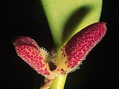240px restrepiella ophiocephala