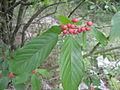 Rhamnus caroliniana.jpg