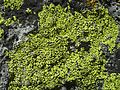 Rhizocarpon riparium - Flickr - pellaea (2).jpg