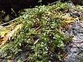 Rhizomnium glabrescens.jpg